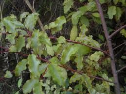 Image result for native tree identification nz