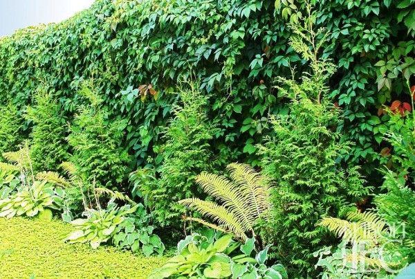 Список растений для живой изгороди