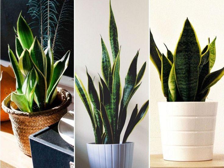 A szanzavéra (Sansevieria trifasciata) a szerény igényű, kevés ápolást igénylő, könnyen szaporítható szobanövények közé tartozik.