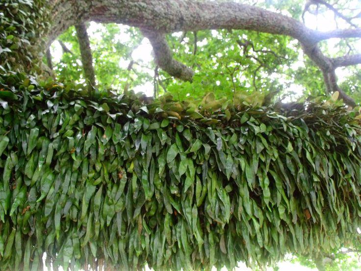 Fern growing on the branch of a huge old oak tree.