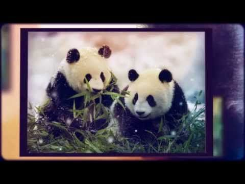 Panda facts for kids   giant   bear   fun facts about Pandas  best  top - YouTube