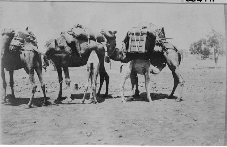 066497PD: Camel calves drinking from loaded mares at Derby, ca. 1918 https://encore.slwa.wa.gov.au/iii/encore/record/C__Rb2861618