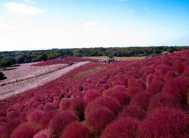 Il Parco Hitachi in Hitachinaka, Ibaraki, Giappone  Un parco nel quale, durante la fioritura della primavera, si può osservare un'immensa distesa formata da 4 milioni e mezzo di fiori.