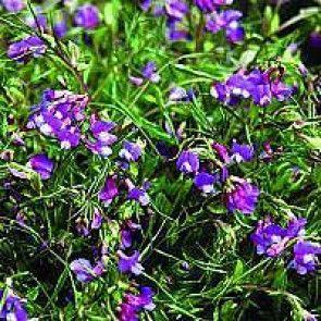 Vår-fladbælg (Lathyrus vernus) - CO