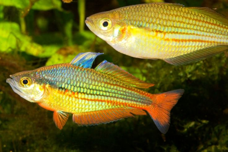 17 best images about rainbowfish of australia and new for Tropical rainbow fish