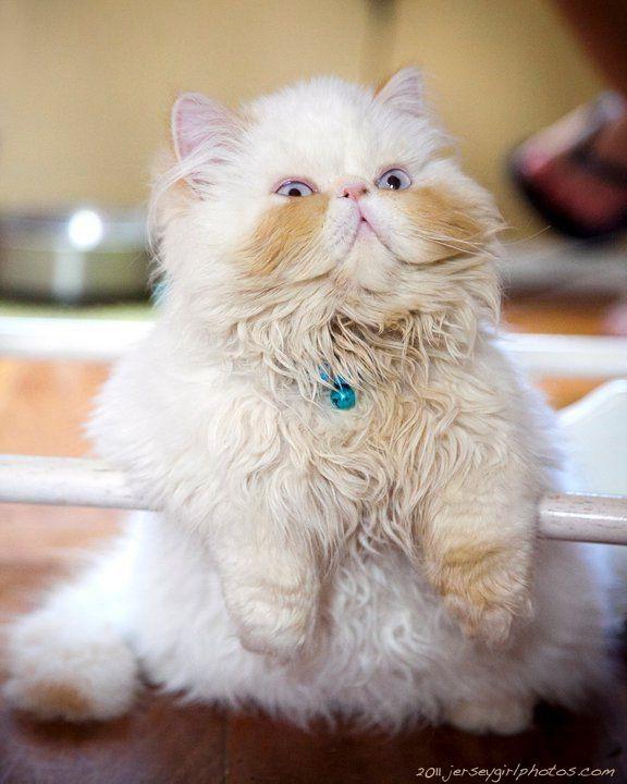 kitten Squiggy, The Persian Cat