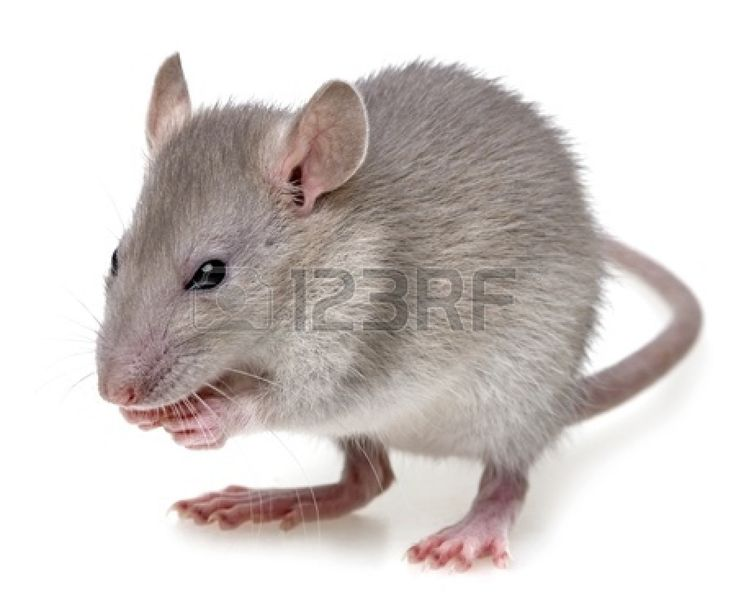 Lovely  eine kleine ratte etwas zu essen