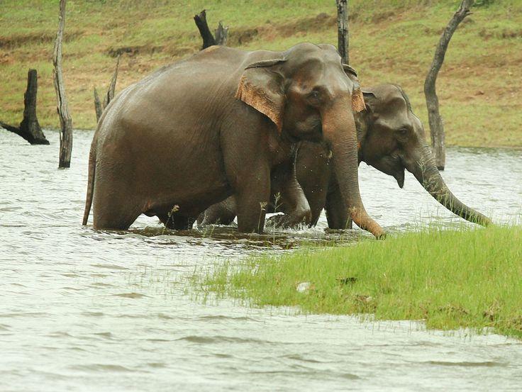 Wild Elephants at Thekkadi, Kerala http://keralapicnicspot.com/thekkadi-the-beauty-of-forest