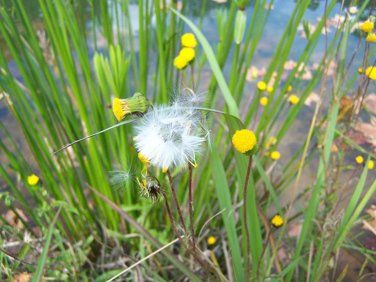 Where some see a weed- others see a wish @ Budmarsh country lodge