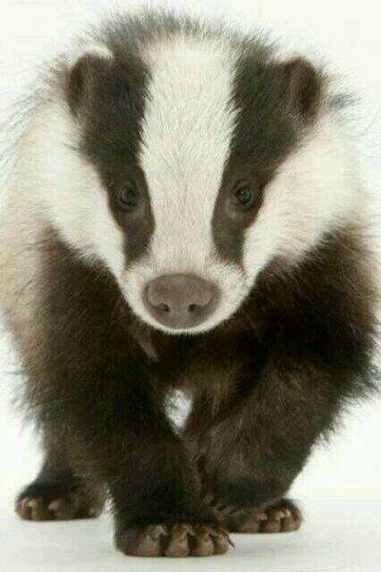 Badger - Badgers can be fierce animals and will protect themselves and their young at all costs, are capable of fighting off dog-packs and fighting off much larger animals, such as wolves and bears. However, badgers can be tamed and then kept as pets. - Wikipedia