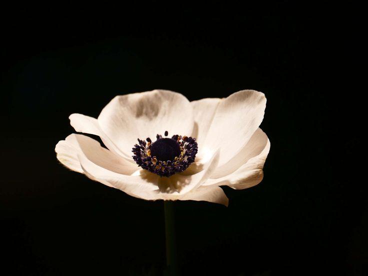 #anemone #bloom #blossom #crown anemone #flower #white