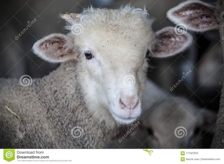 Little ram of merina sheep pure breed at barn, Extremadura, Spain. Front portrait
