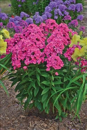 9 best tall garden phlox images on pinterest perennials flower this is just the perennial your garden or containers need order phlox glamour girl phlox tall garden online from garden crossings mightylinksfo Image collections
