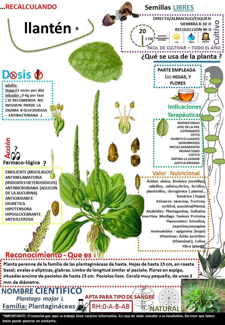 Recalculando Plantasmedicinales Llanten Semillaslibres