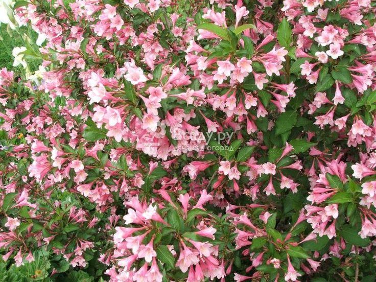 Вейгела Флорида при правильной подкормке очень красиво цветет
