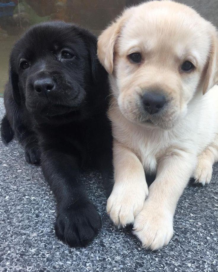Labrador Retriever Pups ~ Classic Look #LabradorRetriever