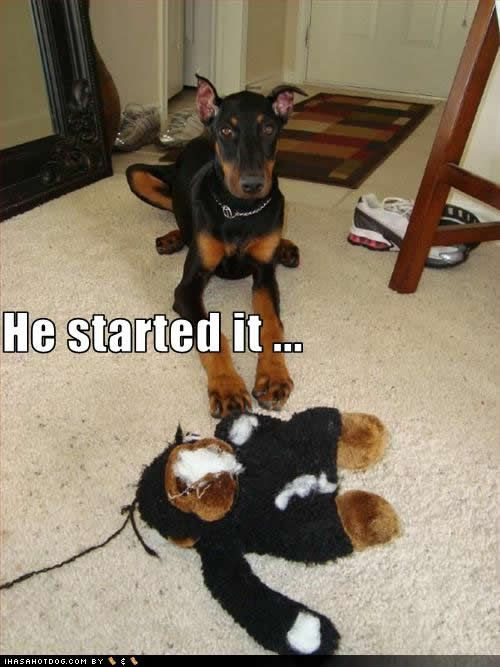 """""""He Started It... looked at me funny, so I took off his face."""" ~ Dog Shaming shame - Doberman  funny-dog-pictures-started-it"""