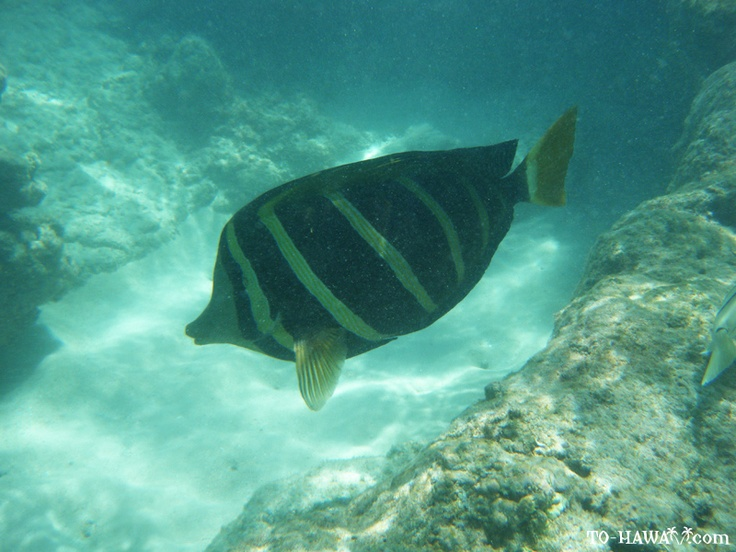 1000 images about fish i 39 ve seen snorkeling on pinterest for Fishing spots oahu