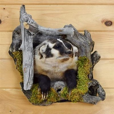 N. American Badger Taxidermy For Sale - SW3367