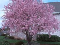 Plum Tree Pruning and Diseases for All Plum Tree Varieties by SavATree