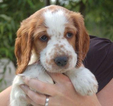 welsh springer spaniel   Welsh Springer Spaniel ...........click here to find out more http://googydog.com
