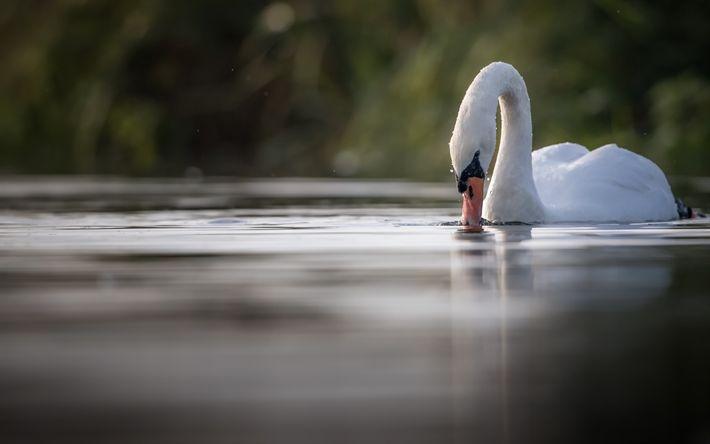 Download wallpapers white swan, lake, beautiful bird, water, birds, swans