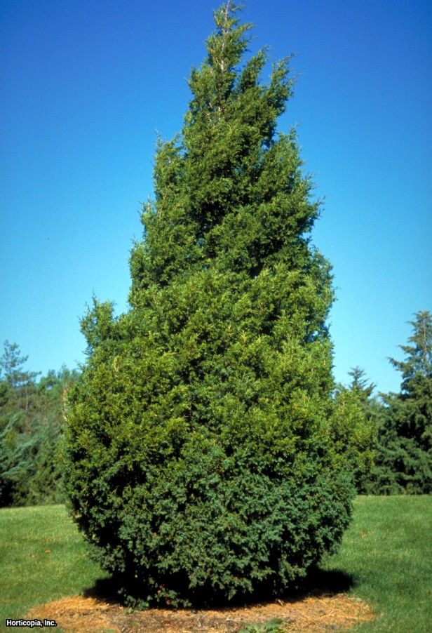 Eastern Red Cedar ~ Images about things that grow under black walnut
