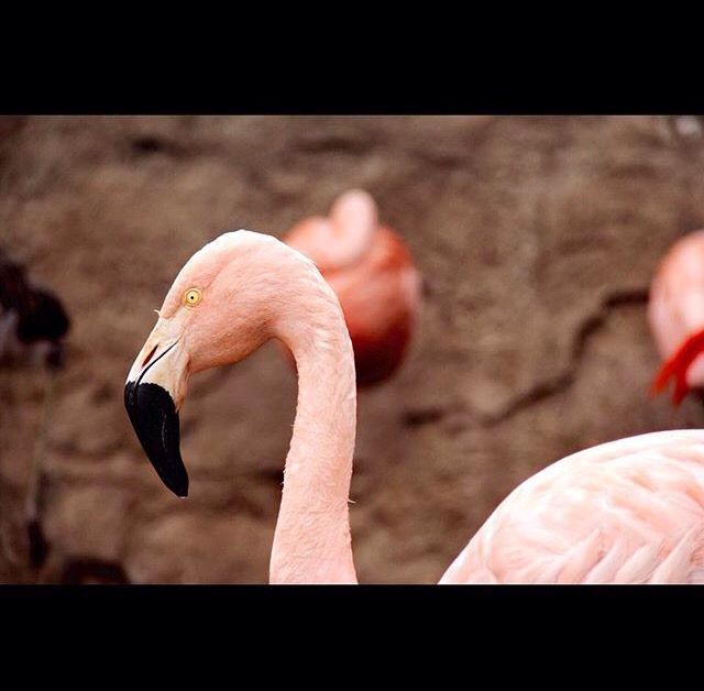 Aves rosadas