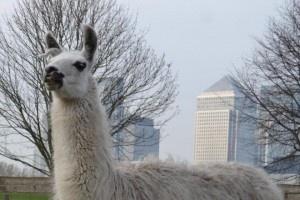 Llama at Mudchute farm London the largest inner city farm in Europe.