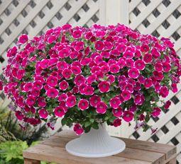 Cascadias Rim Chianti Petunia Plant