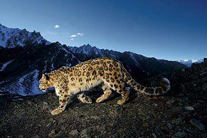 A Snow Leopard Traverses A Rocky Slope Art Print by Steve Winter
