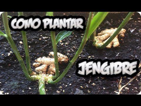 Como Cultivar Jengibre En Maceta