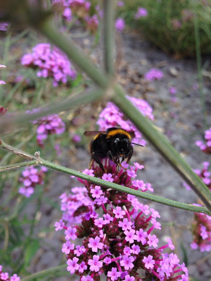 A photo of a bumble bee i took :3 proud of this one :3