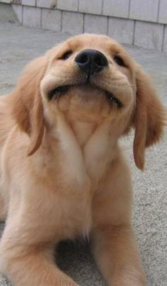 Smiling Golden Retriever puppy! We need this little guy in our office ASAP! Puppy overload is something we are totally okay with!