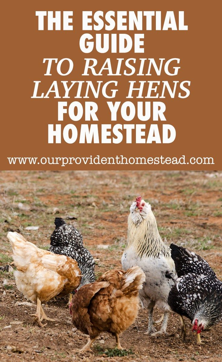 the essential guide to raising laying hens for your homestead rh pinterest com