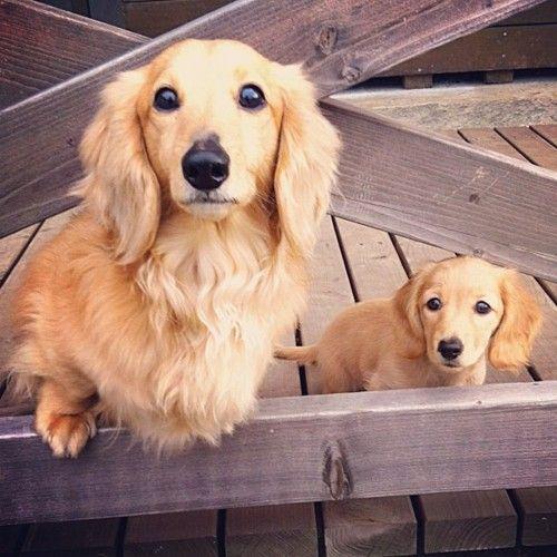 #Bassotto a pelo lungo. #cani