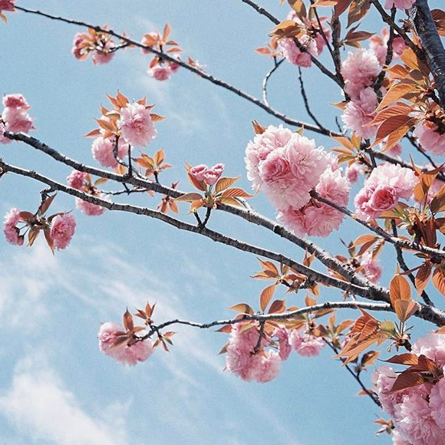 【pndusg】さんのInstagramをピンしています。 《八重桜🌸  #cherryblossom #sakura #yaezakura #spring2016 #kyoto #photography #35mm #rollei35s #fujifilm #venus800 #film #filmphotography #ishootfilm #filmisnotdead #justfilmshot #analog #analogphotography  #aov #八重桜 #桜 #青空 #京都 #フィルム #フィルムカメラ #フィルム写真 #ファインダー越しの私の世界 #写真好きな人と繋がりたい》