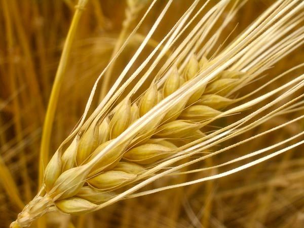 19 Best Benefits Of Barley For Skin, Hair And Health