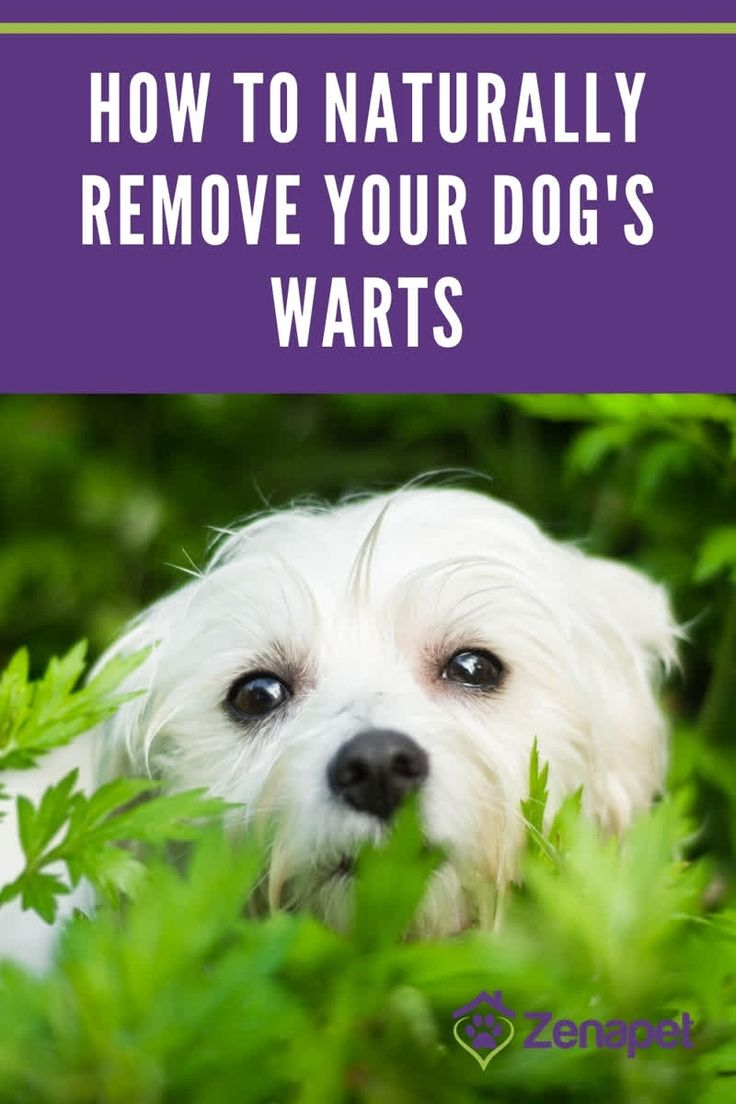 How to naturally remove your dogs warts in 2020 dog