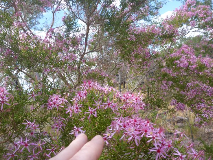 Kimberley Heath (Calytrix extstipulata) the essential oil comes from the flower, its uplifting, fresh, woody and a hint of fruitiness, a very exquisite outback aroma
