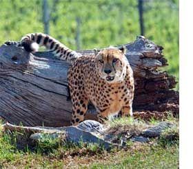 Cheetah Outreach Program, Cape Town, South Africa