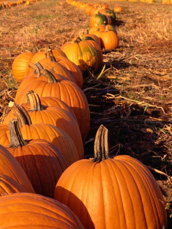 17 Best ideas about Planting Pumpkin Seeds on Pinterest | Pumpkin growing, How to grow pumpkins ...