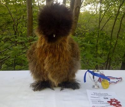 Hi I Have Silkies For Sale In Eggs Chicks And Adults In