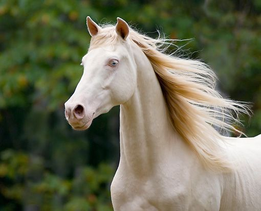 This could be perlino or smoky cream - it looks like it has too much color in the mane to be cremello.