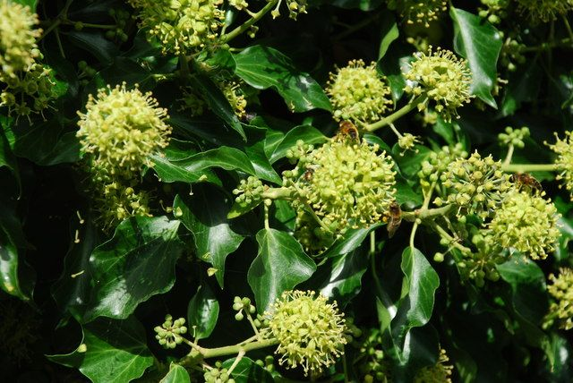 Ivy, plural ivies (Hedera), is a genus of 12–15 species of evergreen climbing or ground-creeping woody plants in the family Araliaceae