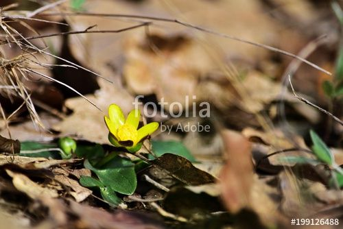 Marsh-marigold (Caltha palustris)