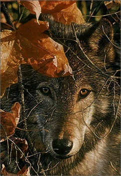Autumn Eyes by Collin Bogle All Other Collin Bogle Prints | eBay