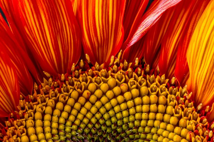 Red Sunflower 3 by Martha Di Giovanni on 500px