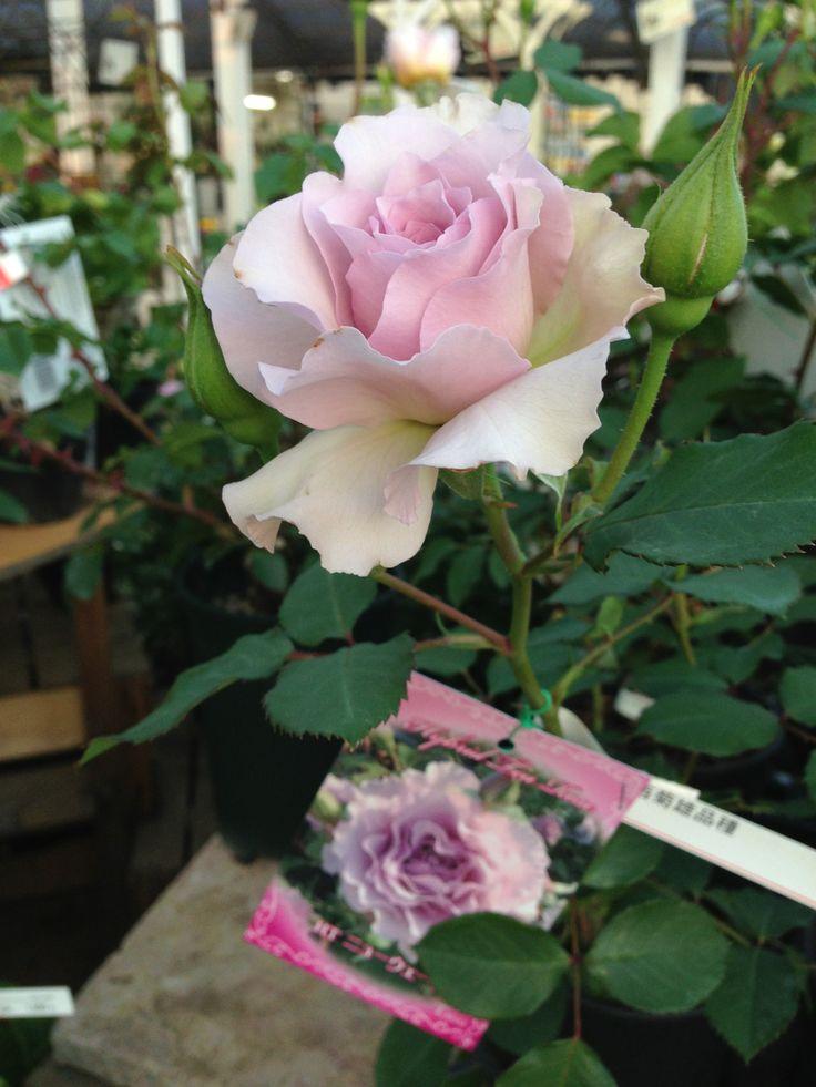 淡い色のおしゃれなバラ ステキですね