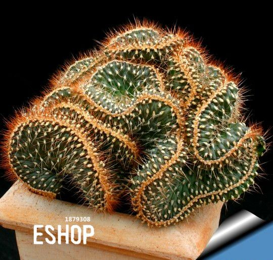 Aliexpress.com: Comprar Gran venta! suculentas semillas Echinopsis tubiflora, rare cactus flor, acerca de 10 unids/lote, #YBGJT1 de pedidos de semillas fiable proveedores en EShop Co.,Ltd